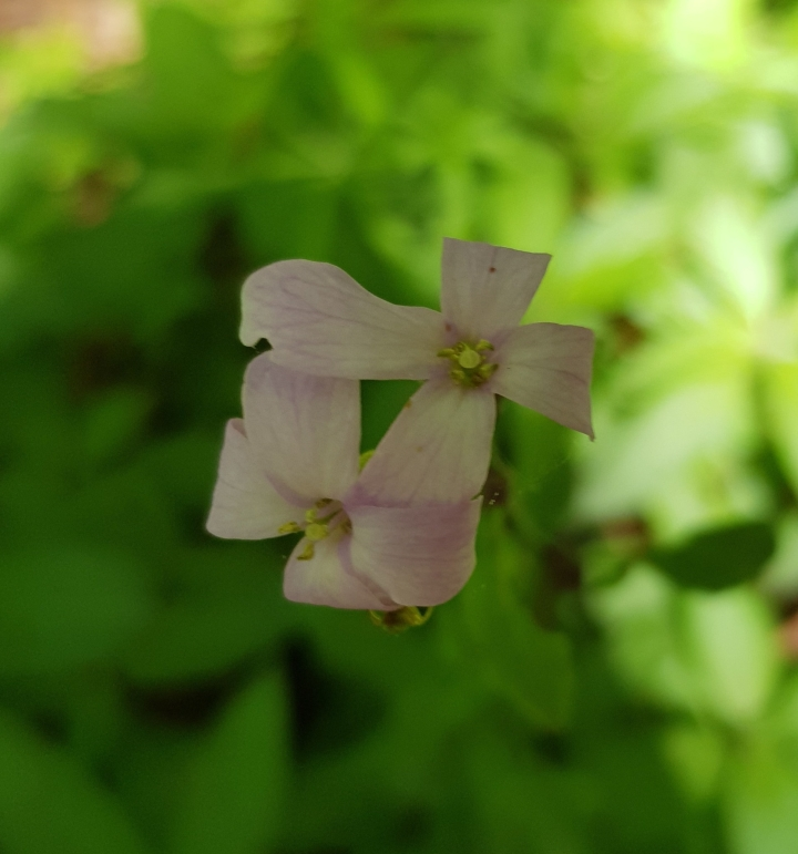 Coralroot image