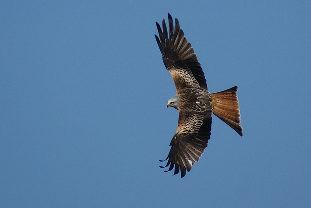 Red kite (image: Joe Pell via Flickr)